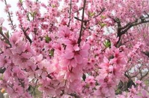 peach-blossom_resized.jpg