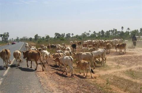 1917205-crossing_cows-The_Gambia.jpg