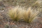 serrated tussock.jpg
